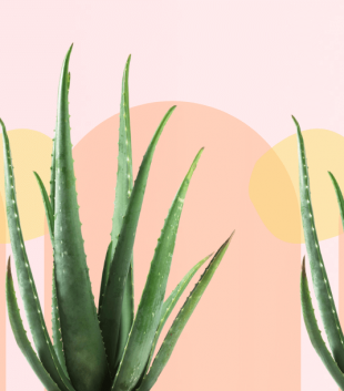 Green aloe vera plant in front of a pastel pink and yellow background